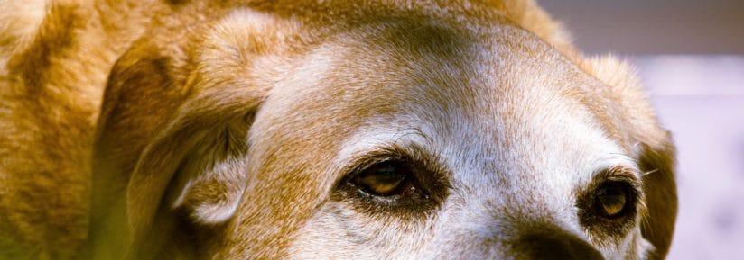 assurance chien agé (1)
