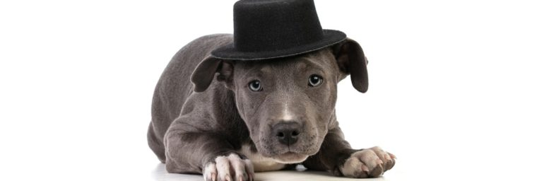 poids American Staffordshire Terrier