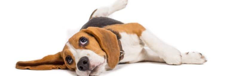 poids Beagle