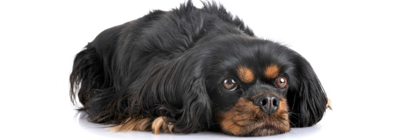 poids Cavalier King Charles