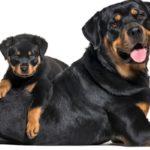 poids Rottweiler