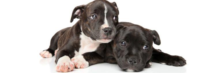poids Staffordshire Bull Terrier