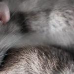 poids rat domestique