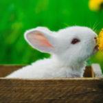 soins lapin et lapin nain