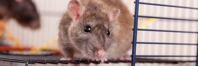 les accessoires pour rat
