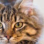 Vermifuge comprimé chat