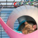 cage à rat domestique