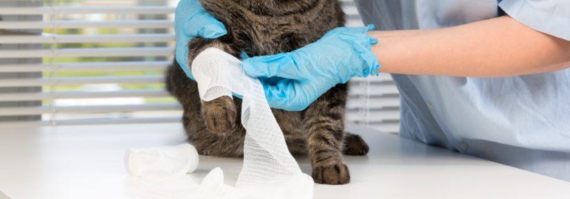 Désinfecter la plaie du chat