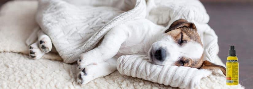Bétadine pour chien