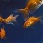 nourriture du poisson rouge