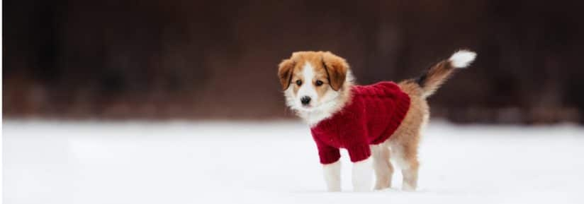 pull pour chiens