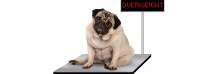 Estimation poids chien adulte