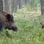 assurance chien de chasse aux sangliers