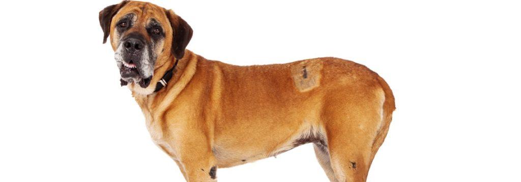 cane corso surpoids