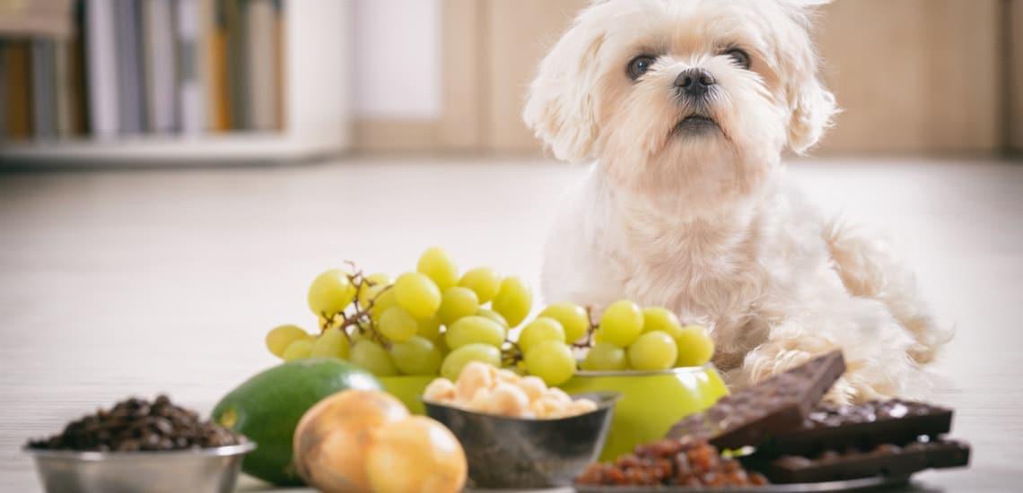 nourriture toxique et interdit aux chien
