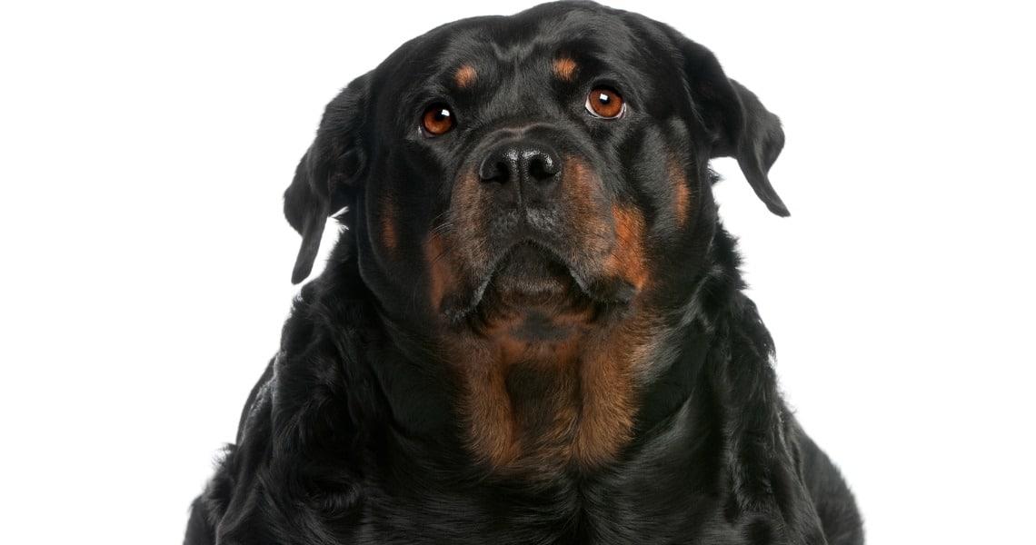 Rottweiler très obèse