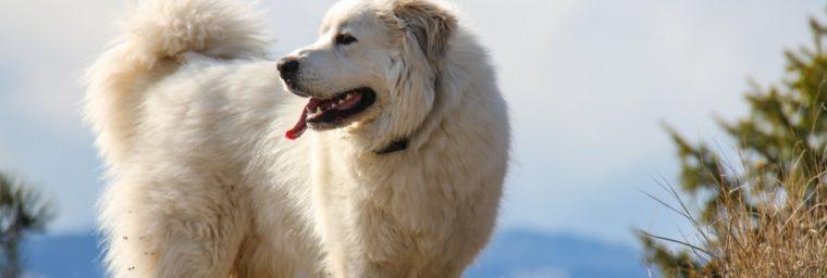 poids chien adulte Montagne des Pyrénées