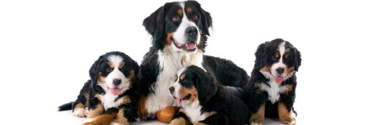 Bouvier bernois chien de compagnie