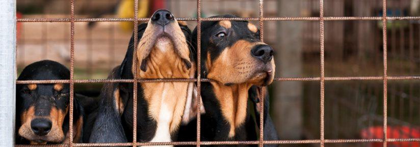 Garde de chien en chenil