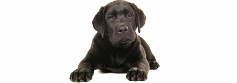 Poids Labrador 2 mois