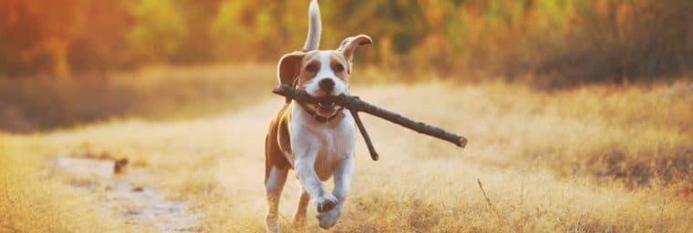 caractéristiques physiques Beagle