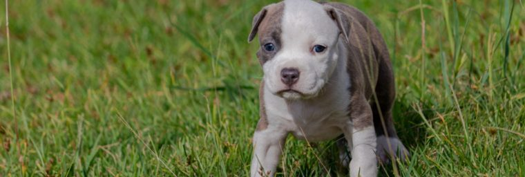 chiot american staffordshire terrier