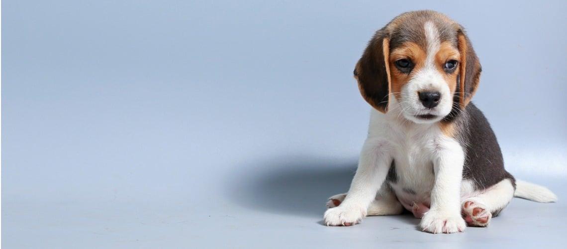 courbe croissance beagle