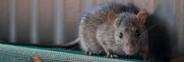 esperance de vie rat