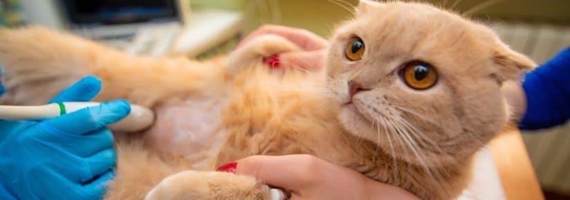 prix échographie chat
