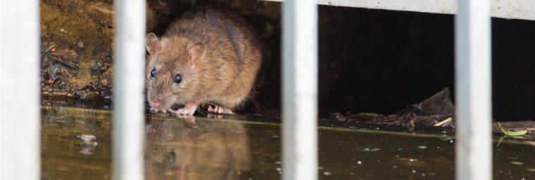 rat des égouts