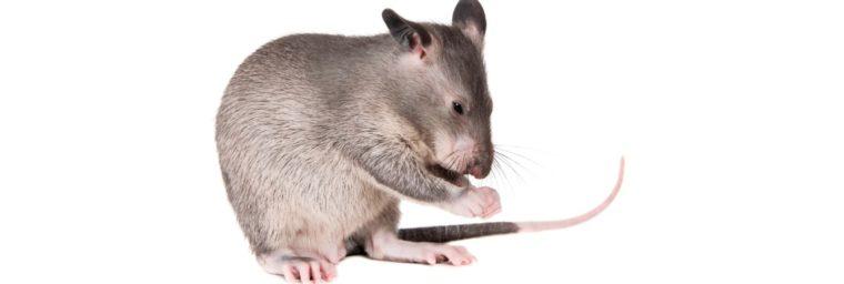 rat en surpoids