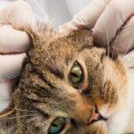 Traitement naturel de la gale d'oreille du chat