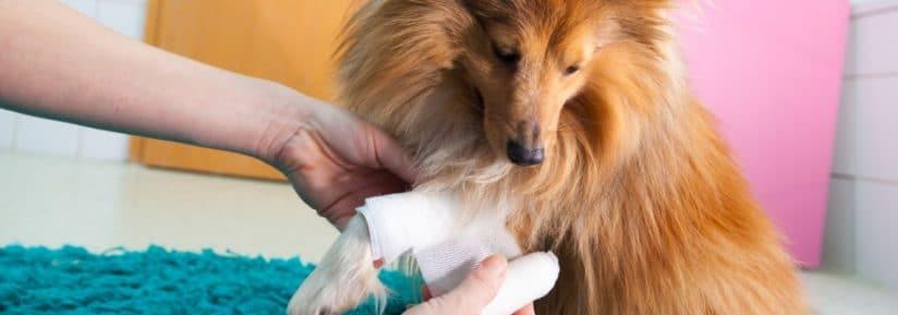 blessure à la patte d'un chien