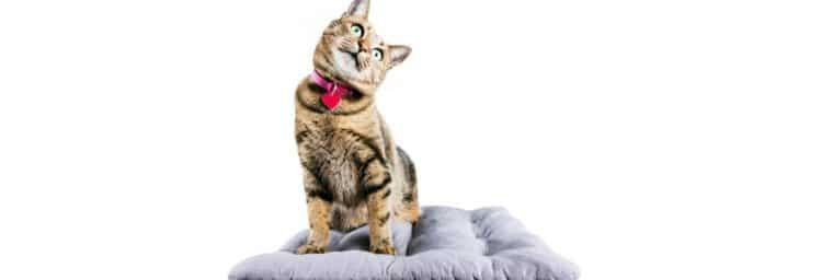 chat avec une médaille en coeur