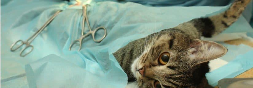 opération de chat par veterinaire