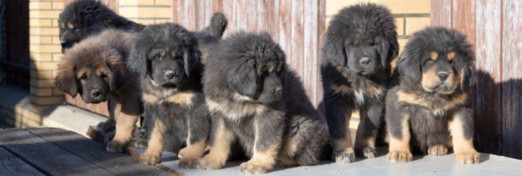 croissance du dogue du tibet