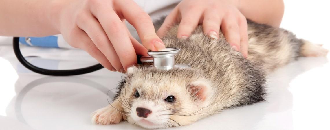 intervention veterinaire sur un furet
