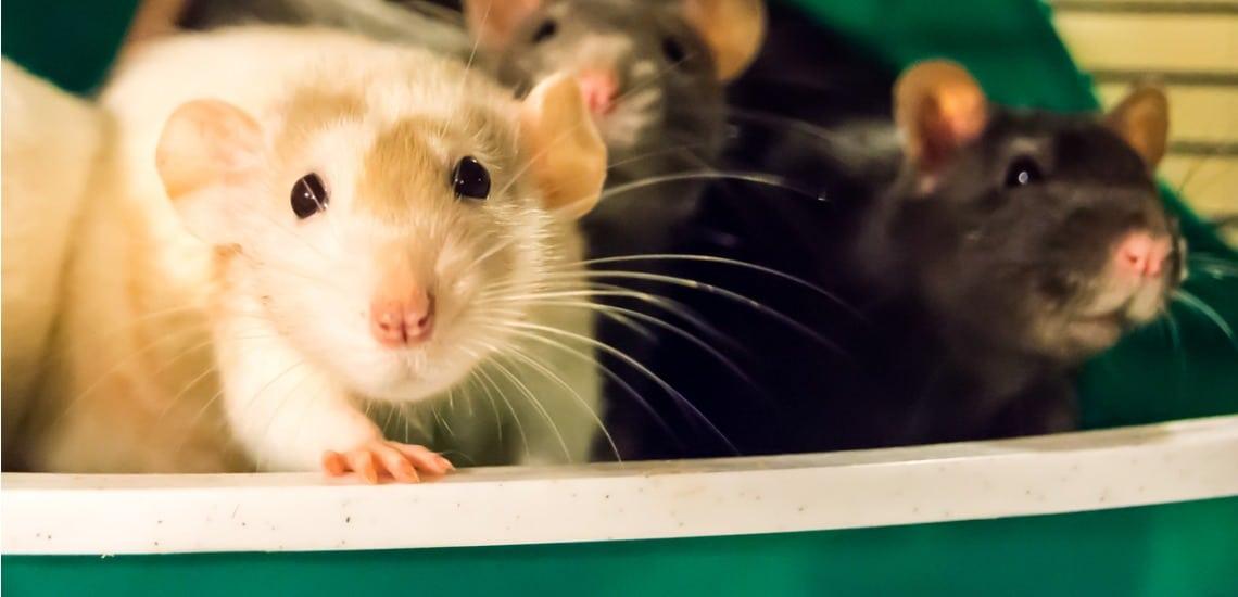 litière pour rat