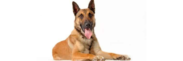 malinois poids ideal age adulte