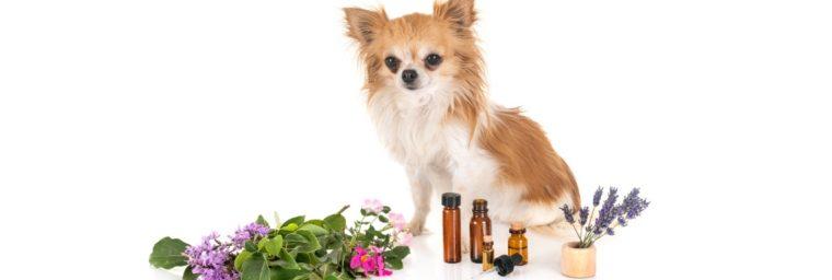 huile essentielle pour chien